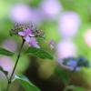 【花紀行】紫陽花からの伝言