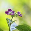 【花紀行】紫陽花からの伝言~光を受け