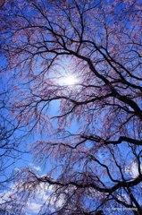 青空の桜花舞