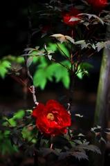 ぼたんの花