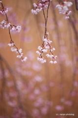 しだれ桜・・風にゆられて