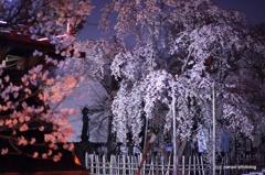 宝寿院 夢窓国師 しだれ桜  樹齢200年