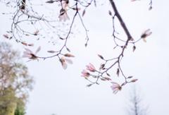 20210325 Magnolia・・・♪