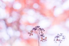 紫陽花 collection  2018-22