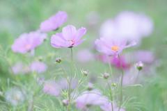 秋桜・・・♪
