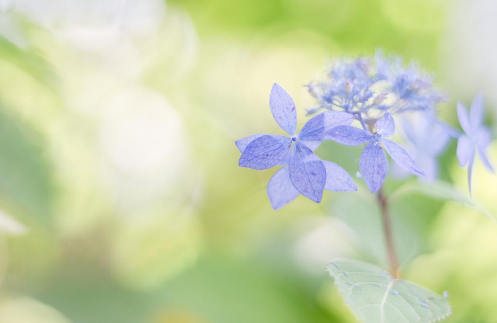 紫陽花 collection ♡ 2020-09