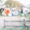20201107 Rose collection ♡ 41