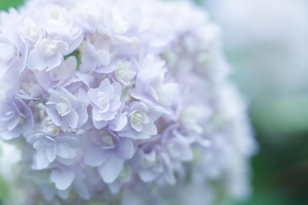 紫陽花 collection ♡ 2020-10