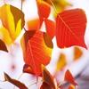 晩秋の南京櫨(なんきんはぜ)3