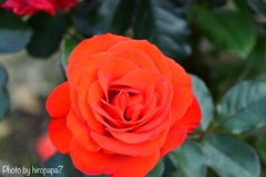 Beautiful Rose②