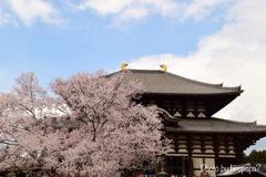 大仏殿と桜