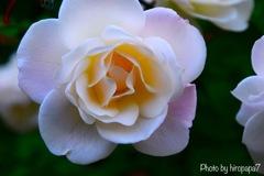 Beautiful Rose①