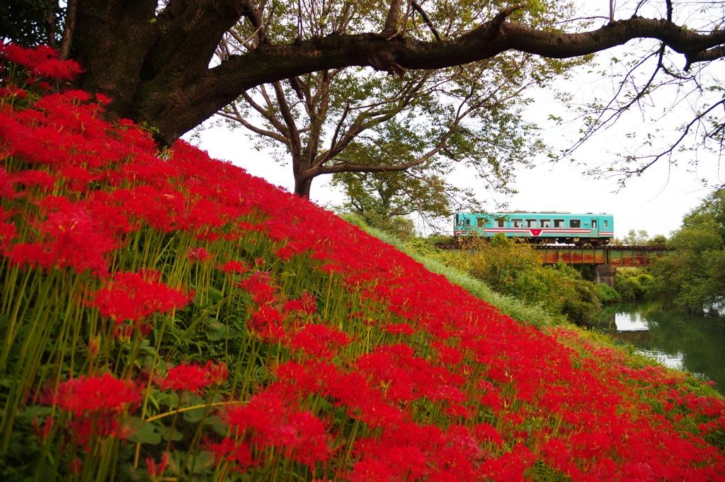 樽見鉄道花風景