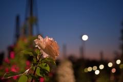 夕焼け薔薇 3