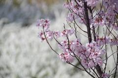 桜photo1
