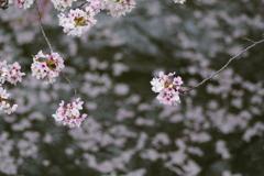 散り始めた桜3