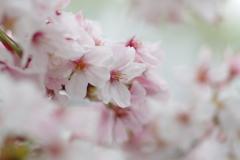 散り始めた桜2