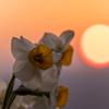 夕日と水仙