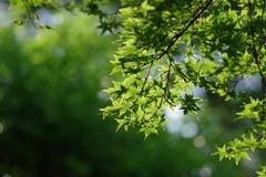 新緑ミドリ