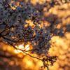桜の思い出 5