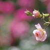 いろんな薔薇4
