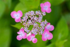 色とりどりの紫陽花 3