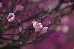 咲いたね ピンク