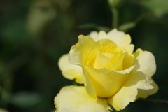 いろんな薔薇1