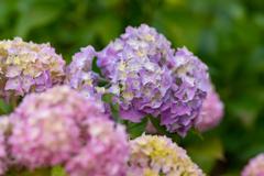色とりどりの紫陽花 2