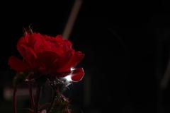 光と薔薇3