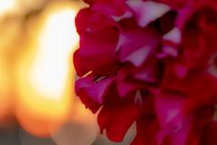 夕焼け薔薇 2