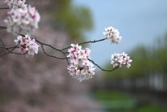 散り始めた桜1
