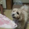 我が家の愛犬 チャミ