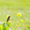 春を待つ(ジョウビタキ編)
