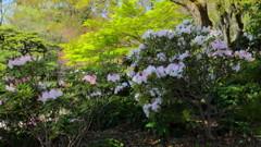ぶらっと皇居、江戸城東御苑・アカボシシャクナゲと萌える若葉