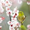 うつたへに鳥は食まねど縄延へて守らまく欲しき梅の花かも(万葉集・作者未詳)