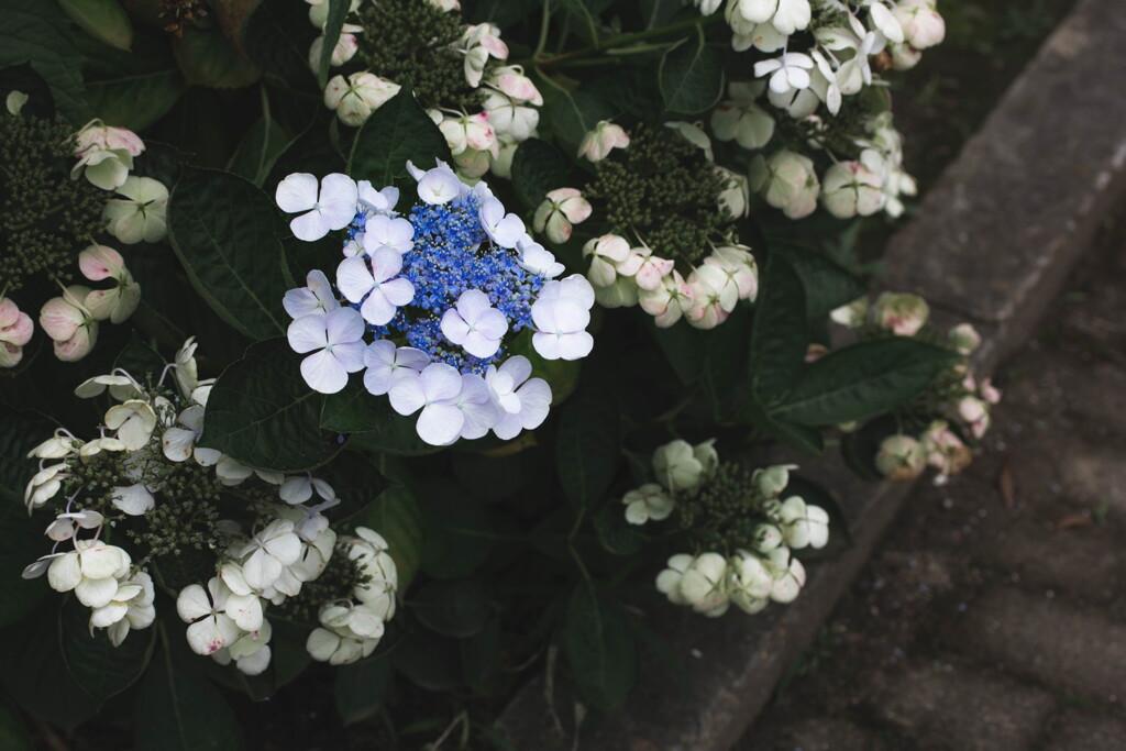 ラスト・紫陽花