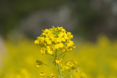 浜離宮・菜の花