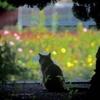 秋薔薇と猫