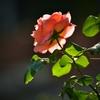 春薔薇13