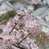 小倉城の桜 3