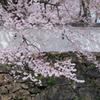 小倉城の桜 5