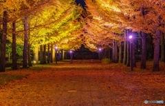 イチョウ並木道のライトアップ