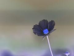 新種の秋桜