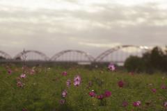 秋桜と水管橋
