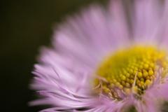 春に咲くシオン