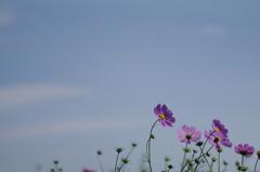 青空に秋桜