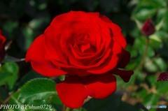 薔薇園-5