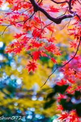 瑞宝寺公園の紅葉-5