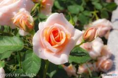薔薇園-1